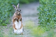 Feldhase trocknet sein Fell nach einem Regenschauer  -  (Europaeischer Feldhase), Lepus europaeus, European Hare dries his coat after a rain shower  -  (Brown Hare)
