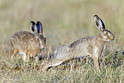 Adulter Feldhase hoppelt zu einem diesjaehrigen Junghasen  -  (Europaeischer Feldhase), Lepus europaeus, European Hare adult visits an older leveret  -  (Brown Hare)