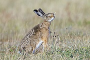 Feldhase frisst die Aehre eines Grashalms  -  (Europaeischer Feldhase), Lepus europaeus, European Hare eats the ear of a blade of grass  -  (Brown Hare)