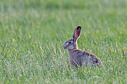 Diesjaehriger Feldhase auf einer landwirtschaftlich intensiv genutzten Wiese, er hat gluecklicherweise ueberlebt  -  (Europaeischer Feldhase), Lepus europaeus, European Hare older leveret in a meadow  -  (Brown Hare)