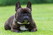 Franzoesische Bulldogge, einer ihrer Vorfahren ist die Englische Bulldogge - (Foto Ruede Portraetaufnahme), Canis lupus familiaris, French Bulldog, one of its ancestors was the English Bulldog - (Photo male dog portrait)