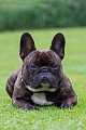 French Bulldog were very popular in the past, especially in western Europe - (Photo male dog portrait)