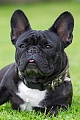 Franzoesische Bulldoggen bellen sehr selten - (Foto Huendin Portraetaufnahme), Canis lupus familiaris, French Bulldog rarely barks - (Photo she-dog in portrait)