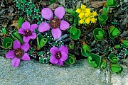 Gegenblaettriger Steinbrech ist essbar  -  (Gegenblatt-Steinbrech - Foto Gegenblaettriger Steinbrech bluehend), Saxifraga oppositifolia, Purple Saxifrage is an edible plant  -  (Purple Mountain Saxifrage - Photo Purple Saxifrage flowering)