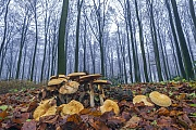 Golden Bootleg is found throughout Europe and North America  -  (Golden Cap - Photo mushrooms in a beech forest)