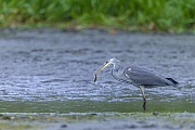 Graureiher, beide Elterntiere fuettern die Jungvoegel  -  (Fischreiher - Foto Graureiher im Brutkleid mit Nistmaterial), Ardea cinerea, Grey Heron, both sexes feed the young  -  (Gray Heron - Photo Grey Heron with nesting material)