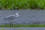 Graureiher, nur jeder dritte Jungvogel erreicht das zweite Lebensjahr  -  (Fischreiher - Foto Graureiher Altvogel im Ruhekleid mit Spiegelbild), Ardea cinerea, Grey Heron, only about a third of juveniles survive into their second year  -  (Gray Heron - Photo Grey Heron adult bird in basic plumage with reflection)