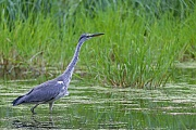 Graureiher, bei einem beringten Vogel konnte ein Alter von 35 Jahren dokumentiert werden  -  (Fischreiher - Foto Graureiher im Schneefall), Ardea cinerea, Grey Heron, the maximum recorded lifespan in the wild is 35 years  -  (Gray Heron - Photo Grey Herons in snowfall)