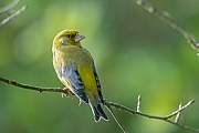 Gruenfink, das Gelege wird nur vom Weibchen bebruetet  -  (Gruenling - Foto Gruenfink Maennchen ruht auf einem Zweig), Carduelis chloris, European Greenfinch, only the female incubate the eggs  -  (Greenfinch - Photo European Greenfinch male rests on a branch)