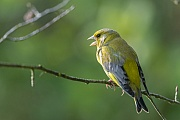 Gruenfinken ziehen 2 - 3 Bruten im Jahr gross  -  (Gruenling - Foto Gruenfink Maennchen ruht auf einem Zweig), Carduelis chloris, European Greenfinch produces two or three broods per year  -  (Greenfinch - Photo European Greenfinch male rests on a branch)