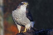 Habicht, die Weibchen sind deutlich groesser, als die Maennchen  -  (Huehnerhabicht - Foto Habicht Weibchen auf einer Baumwurzel), Accipiter gentilis, Northern Goshawk, the females are significantly larger than males  -  (Goshawk - Photo Northern Goshawk female on a tree root)