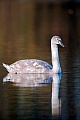 Hoeckerschwan, seine Ursprungsheimat ist Europa und Asien  -  (Foto Hoeckerschwan immaturer Jungvogel), Cygnus olor, Mute Swan is native to Europe and Asia  -  (Photo Mute Swan juvenile)