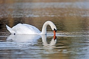 Hoeckerschwan, der namensgebende Schnabelhoecker ist bei den Maennchen groesser als bei den Weibchen  -  (Foto Hoeckerschwan Maennchen auf Nahrungssuche), Cygnus olor, Mute Swan, the knob atop the beak is larger in males  -  (Photo Mute Swan cob in search of food)
