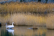Hoeckerschwaene gehoeren zu den schwersten flugfaehigen Vogelarten  -  (Foto Hoeckerschwan Alt- und Jungvogel in den Schwedischen Schaeren), Cygnus olor, Mute Swan is one of the heaviest flying birds  -  (Photo Mute Swan adult with juvenile bird in the swedish archipelago)