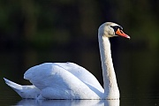 Hoeckerschwaene ernaehren sich von vielen verschiedenen Pflanzenarten  -  (Foto Hoeckerschwan Maennchen in Sachsen), Cygnus olor, Mute Swans feed on a wide range of vegetation  -  (Photo Mute Swan cob in Saxony)