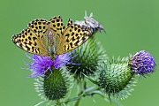 Kaisermantel, die Maennchen sind kleiner und blasser als die Weibchen  -  (Silberstrich - Foto Kaisermantel Weibchen auf einer Distel), Argynnis paphia, Silver-washed Fritillary, the male is smaller and paler than the female  -  (Photo Silver-washed Fritillary female)