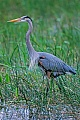 Kanadareiher, das Weibchen legt in der Regel 3 - 6 Eier  -  (Foto Kanadareiher in den Everglades), Ardea herodias, Great Blue Heron, the female lays 3 to 6 eggs  -  (Photo Great Blue Heron in the Everglades)