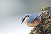 Kleiber, die Jungvoegel werden ueberwiegend mit Insekten gefuettert  -  (Foto Altvogel), Sitta europaea, Eurasian Nuthatch, the young are fed mainly with insects  -  (Photo adult bird)