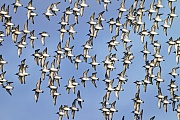 Knutt erreicht eine Fluegelspannweite von 47 - 53cm  -  (Foto Knutt, Alpenstrandlaeufer und Austernfischer an der Nordseekueste), Calidris canutus - Calidris alpina - Haematopus ostralegus, Red Knot has a wingspan of 47 to 53cm  -  (Photo Red Knot, Dunlin and Oystercatcher at the North Sea coast)