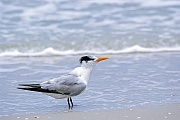 Koenigsseeschwalben brueten, bis auf wenige Ausnahmen, nur in Amerika  -  (Foto Koenigsseeschwalbe im Ruhekleid), Thalasseus maximus, Royal Tern breeds in America  -  (Photo Royal Tern in winter plumage)
