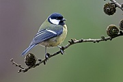 Kohlmeise, in den meisten Jahren ziehen die Paare zwei Bruten gross  -  (Foto Kohlmeise auf dem Zweig einer Laerche), Parus major, Great Tit, in most years the pair will raise two broods  -  (Photo Great Tit on the branch of a larch tree)