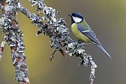Kohlmeise ist die groesste Meisenart in Europa  -  (Foto Kohlmeise auf einem mit Flechten bewachsenen Zweig), Parus major, Great Tit is the largest tit species in Europe  -  (Photo Great Tit on a lichen-covered branch)