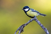 Kohlmeisen erreichen eine Koerperlaenge von 13 - 15 cm  -  (Foto Kohlmeise im schwedischen Dalarna), Parus major, Great Tit has a length of about 13 to 15 cm  -  (Photo Great Tit in the province Dalarna in Sweden)
