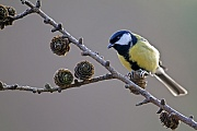 Kohlmeise ist ein Sperlingsvogel aus der Familie der Meisen  -  (Foto Kohlmeise auf einem Laerchenzweig), Parus major, Great Tit is a passerine bird in the tit family Paridae  -  (Photo Great Tit on the branch of a larch tree)