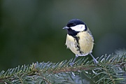 Kohlmeisen sind eine weitverbreitete und haeufige Spezies in ganz Europa, dem Mittleren Osten und in Zentral- und Nordasien  -  (Foto Kohlmeise auf einem Fichtenzweig), Parus major, Great Tit is a widespread and common species throughout Europe, the Middle East and in Central- and Northern Asia  -  (Photo Great Tit on the branch of a spruce tree)