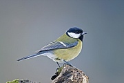 Kohlmeise, die Jungen werden unbefiedert und nackt geboren  -  (Foto Kohlmeise Altvogel im Winter), Parus major, Great Tit, the young are hatched unfeathered and blind  -  (Photo Great Tit adult bird in winter)