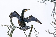Kormoran, beide Geschlechter versorgen die Jungvoegel mit Nahrung  -  (Kormoran Atlantische Rasse - Foto Kormoran im Jugendkleid), Phalacrocorax carbo, Great Cormorant, both sexes feeding the young  -  (Sea Raven - Photo Great Cormorant in immature plumage)