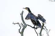 Kormorane erreichen eine Koerperlaenge von 77 - 94cm  -  (Kormoran Atlantische Rasse - Foto Kormoran trocknet sein Gefieder nach der Fischjagd), Phalacrocorax carbo, Great Cormorant has a length of 77 to 94cm  -  (Black Shag - Photo Great Cormorant dries its feathers after the fish hunt)
