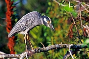 Krabbenreiher, das Gelege besteht aus 2 - 6 Eiern  -  (Foto Krabbenreiher im Brutkleid), Nyctanassa violacea, Yellow-crowned Night Heron, the female lays 2 to 6 eggs  -  (Squawk - Photo Yellow-crowned Night Heron in breeding plumage)
