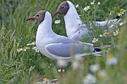 Lachmoewen sind tagaktive Tiere  -  (Foto Lachmoewe Altvoegel in der Brutkolonie), Chroicocephalus ridibundus - (Larus ridibundus), Black-headed Gull is a diurnal species  -  (Common Black-headed Gull - Photo Black-headed Gull adult birds in the breeding colony)