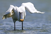 Loeffler sind Koloniebrueter  -  (Loeffelreiher - Foto Loeffler fluegger Jungvogel bettelt bei einem Altvogel nach Futter), Platalea leucorodia, Eurasian Spoonbill breeds in colonies  -  (Common Spoonbill - Photo Eurasian Spoonbill fledgling begs for food from an adult bird)