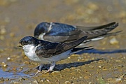 Mehlschwalben sind in der Regel Koloniebrueter  -  (Foto Altvogel sammelt Lehmkluempchen fuer den Nestbau), Delichon urbicum, Common House Martin builds a closed cup nest from mud pellets, usually in colonies  -  (Photo adult bird with mud pellet for nesting material)