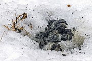 Minklosung  -  Minkkot mit den typischen Fischschuppen, Neovison vison, Mink droppings with typical scales of fish  -  Mink scat - Mink dung