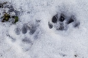 Minkspuren im Schnee  -  Minkfaehrten im Winter, Neovison vison, Mink tracks in snow  -  Mink tracks in winter  -  Mink spoor - Mink footprint - Mink trail in winter