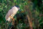 Nachtreiher, das Gelege besteht aus 3 - 8 Eiern  -  (Foto Nachtreiher im Brutkleid), Nycticorax nycticorax, Black-crowned Night Heron, the female lays 3 to 8 eggs  -  (Night Heron - Photo Black-crowned Night Heron in breeding plumage)