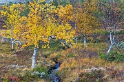 Tundra and small mountain creek with birches in autumn