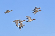 Mit geschaetzten 350.000 Brutpaaren gilt die Pfeifente in Europa in ihrem Bestand als ungefaehrdet, Mareca penelope  -  Anas penelope, With estimated 350.000 breeding pairs, the Eurasian Wigeon is considered to be endangered in Europe