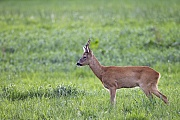 Reh, das Fleisch wird in der Fachsprache Wildbret genannt  -  (Rehwild - Foto Ein sehr alter Rehbock auf einer Aesungsflaeche), Capreolus capreolus, European Roe Deer, the meat is called venison  -  (Roe - Photo A very old Roebuck on a meadow)