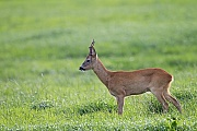 Reh, die sich im Wachstum befindlichen Gehoerne werden durch eine Basthaut geschuetzt  -  (Europaeisches Reh - Foto Ein sehr alter Rehbock beobachtet aufmerksam einen anderen Bock), Capreolus capreolus, European Roe Deer, the velvet helps to protect newly forming antlers  -  (Roe Deer - Photo A very old Roebuck observes another buck)