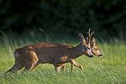 Ein Rehbock treibt eine Ricke in der Brunftzeit  -  (Rehwild - Europaeisches Reh), Capreolus capreolus, A Roebuck in the mating season chases a doe  -  (European Roe Deer - Western Roe Deer)
