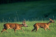 Ein Rehbock treibt eine Ricke in der Blattzeit  -  (Rehwild - Europaeisches Reh), Capreolus capreolus, A Roebuck in the mating season chases a female Roe Deer  -  (European Roe Deer - Western Roe Deer)