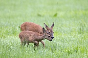 Eine Ricke wechselt mit einem Rehkitz zum Aesen auf eine Wiese  -  (Europaeisches Reh - Rehwild), Capreolus capreolus, A female Roe Deer goes to a meadow with a fawn to graze  -  (European Roe Deer - Western Roe Deer)