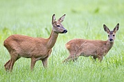 Etwas erregt die Aufmerksamkeit der Ricke  -  (Europaeisches Reh - Rehwild), Capreolus capreolus, Something attracts the attention of the Roe Deer doe  -  (European Roe Deer - Western Roe Deer)
