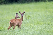 Nach dem vorausgegangenen Verhalten laeuft die Ricke zum Rehkitz und aeugt nochmal zum Fotografen, dann fluechten beide Tiere  -  (Europaeisches Reh - Rehwild), Capreolus capreolus, After the previous behaviour the Roe Deer doe runs to the fawn and looks again at the photographer, then both animals flee  -  (European Roe Deer - Western Roe Deer)