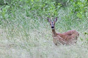 Ricke steht auf einer Wildwiese und aeugt aufmerksam  -  (Europaeisches Reh - Rehwild), Capreolus capreolus, Roe Deer doe stands on a forest meadow and looks intently  -  (European Roe Deer - Western Roe Deer)
