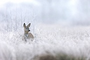Bockkitz im Moor an einem Morgen mit Raureif, Capreolus capreolus, Male Roe Deer fawn in a bog covered with frost